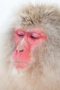 Japanese snow monkey thinking of something Stock Image