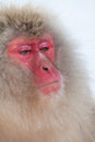Japanese snow monkey with very serious face Royalty Free Stock Photos