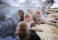 Japanese snow monkeys relax hot spring nagano japan Royalty Free Stock Photography