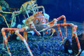 Japanese Spider Crab Stock Photography