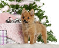 Japanese Spitz puppy, 4 months old, with Stock Photo