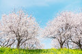 Japanese spring scenics beautiful yoshino cherry Stock Images