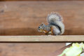 Japanese squirrel on the handrail of the wooden terrace Royalty Free Stock Photo