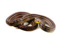 Japanese striped snake Stock Photo