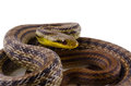 Japanese striped snake Stock Photos