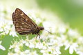 Japanese swift butterfly thoressa varia in hokkaido japan Stock Photography