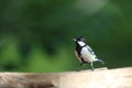 Japanese tit on the brid feeder pictured a which come to in summer Royalty Free Stock Image