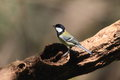 Japanese tit it is a wild bird is observed ordinarily in the park etc in japan Stock Photos