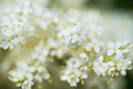 Japanese tree lilac branches Royalty Free Stock Photo