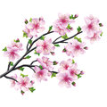Japanese tree sakura cherry blossom isolated pink on white background vector illustration Royalty Free Stock Photography