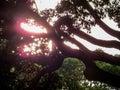 Japanese trees Royalty Free Stock Photo