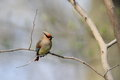 Japanese waxwing in japan they come in autumn and leave in spring winter bird Stock Photography