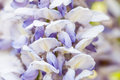 Japanese wisteria wisteria floribunda subtly flowers of the in the garden Stock Image
