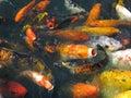 Japanse Koi in het Voeden Waanzin Stock Afbeelding