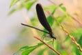 Japenese graceful damselfly calopteryx atrata in japan Royalty Free Stock Photography