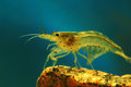 Japonica shrimp Stock Photography
