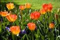 Jardin de tulipe de source Images libres de droits