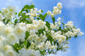 Jasmine beautiful blooming against the blue sky Royalty Free Stock Photo