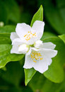 Jasmine beautiful white flower in green leaves Stock Image
