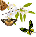 Jasmine branch with three big butterflies Stock Images
