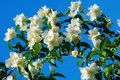 Jasmine flowers and blue sky Stock Image