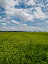 Jasmine rice field after rain is beautifully in upcountry landscape. Royalty Free Stock Photo