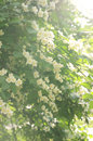 Jasmine shrub with tender white flowers in sunlights Royalty Free Stock Image