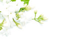 Jasmine white flower isolated on a white background Royalty Free Stock Photo