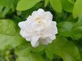 Jasminum sambac jasmine