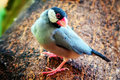 Java finch perched in a tree Stock Photos