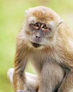 Java Monkey Portrait Royalty Free Stock Images