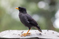 Java myna a bird in singapore city Royalty Free Stock Photos