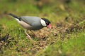 Java sparrow Royalty Free Stock Image