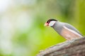 Java sparrow bird lonchura oryzivora come out to look us Royalty Free Stock Image