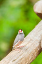 Java sparrow bird lonchura oryzivora looking camera Royalty Free Stock Photography