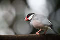 Java sparrow a close up of bird Royalty Free Stock Images