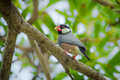 Java sparrow finch lonchura oryzivora in nature thailand Royalty Free Stock Images