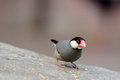 Java Sparrow (Lonchura oryzivora) Stock Photo