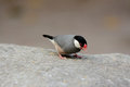 Java Sparrow (Lonchura oryzivora) Royalty Free Stock Photo