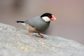 Java Sparrow (Lonchura oryzivora) Royalty Free Stock Photos