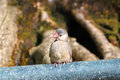 Java sparrow a young of bird sunbathing Stock Photography