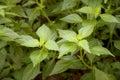 Image : Java tea, Kidney Tea Plant, Cat