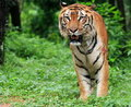 Java tiger Royaltyfria Bilder