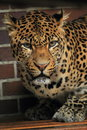 Javan leopard the detail of Royalty Free Stock Photo