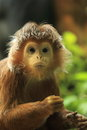 Javan lutung the detail of adult Royalty Free Stock Photos