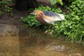 Javan pond heron ardeola speciosa in the Royalty Free Stock Photo