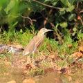 Javan pond heron ardeola speciosa Stock Images