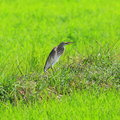 Javan pond heron ardeola speciosa Royalty Free Stock Photos