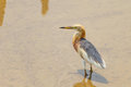 Javan pond heron ardeola speciosa looking for prey Stock Photography