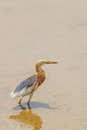 Javan pond heron ardeola speciosa stare at us Royalty Free Stock Image